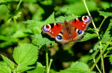 peacock-butterfly-1655724_960_720
